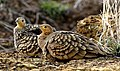 Chestnut-bellied sandgrouse മണൽപ്രാവ്.jpg