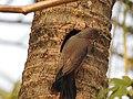 Chestnut tailed starling-kahhur@ - 9.jpg