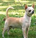 Chihuahuasmoothcoat.jpg