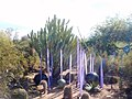Chihuly in the Desert Botanical Garden - panoramio (11).jpg