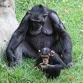 Chimpanzee (37161613913).jpg