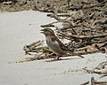 Chipping Sparrow. Spizella passerina (38331223681).jpg