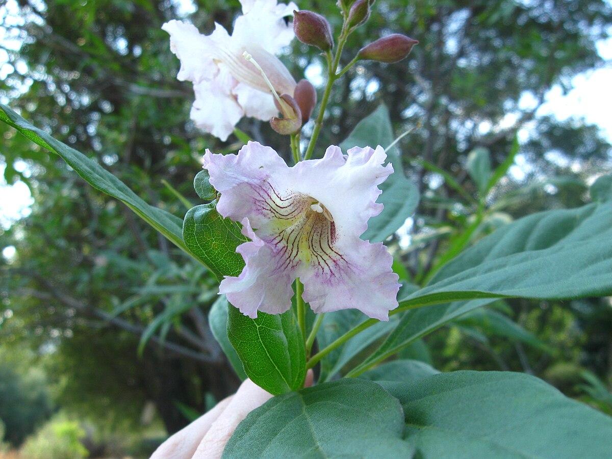 Pink Combination 215 Chitalpa Wikipedia
