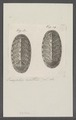 Chiton spec. - - Print - Iconographia Zoologica - Special Collections University of Amsterdam - UBAINV0274 081 06 0031.tif
