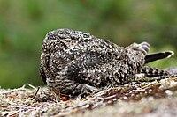 Chordeiles minor -British Columbia -Canada-8b.jpg