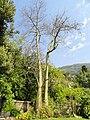 Chorisia speciosa - Val Rahmeh - DSC04411.JPG