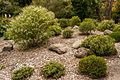 Christchurch Botanic Gardens, New Zealand section, Hebes 2016-02-04.jpg