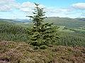 Christmas comes early on Bannachra Muir - geograph.org.uk - 532448.jpg