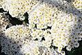 Chrysanthemum Gwendolyn 3zz.jpg