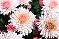 Chrysanthemum Milano Pink 0zz.jpg