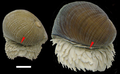 Chrysomallon squamiferum 6.png