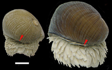 Back side of two snails. Operculum is visible among numerous scales.
