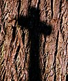 "Cincinnati - Spring Grove Cemetery & Arboretum ""Cross Shadow on Tree Trunk"" (4921519469).jpg"