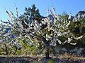 Cirerer en flor a la Vall de Gallinera.JPG