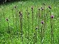 Cirsium heterophyllum 06.JPG