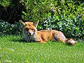 City of London Cemetery, Newham, London England - fox 06.jpg