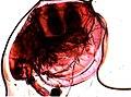 Cladocera (YPM IZ 095843).jpeg
