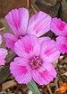 Clarkia amoena - Photo (c) Annie's Annuals & Perennials, algunos derechos reservados (CC BY)