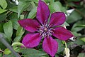 Clematis Picardy 1zz.jpg
