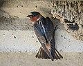 Cliff Swallow (34157215646).jpg