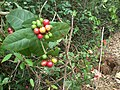 Close view of wild fruits from volonem,tivim goa.jpg