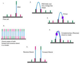 Illumina dye sequencing - The DNA attaches to the flow cell via complementary sequences. The strand bends over and attaches to a second oligo forming a bridge. A polymerase synthesizes the reverse strand. The two strands release and straighten. Each forms a new bridge (bridge amplification). The result is a cluster of DNA forward and reverse strands clones.