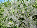Cobwebs on Privet in hedge beside A354 Pentridge Dorset - geograph.org.uk - 182631.jpg