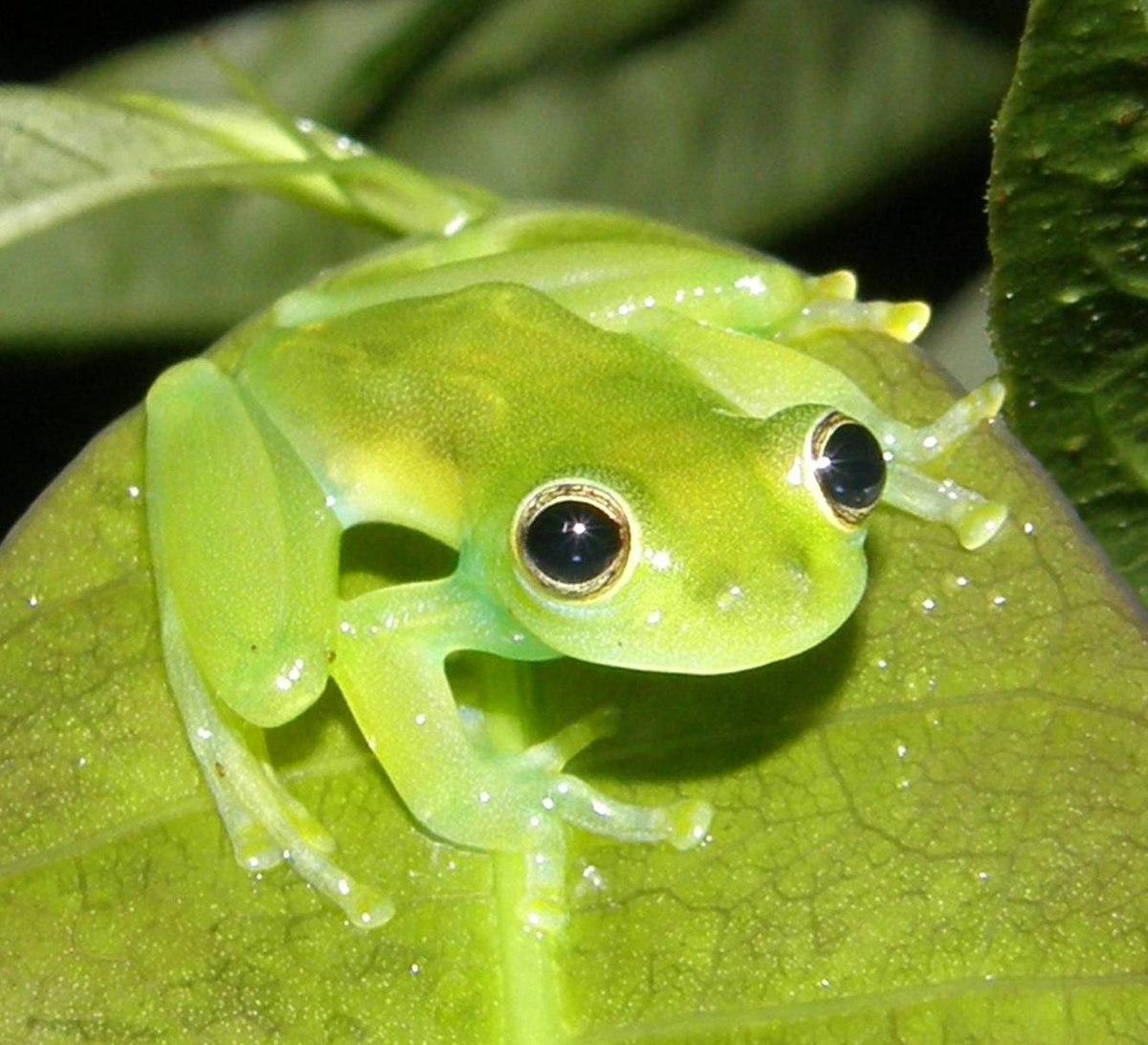 Centrolenidae - Wikipedia, la enciclopedia libre