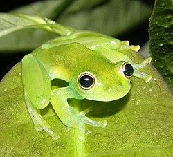 Cochranella spinosa.jpg