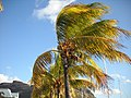 Coconut tree (4717478964).jpg