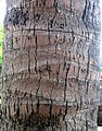 Coconut trunk.jpg