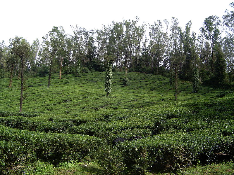 File:Coffee plantation, South Canara.jpg