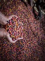 Coffee sorting process, near Hawassa. Holding up beans.jpg