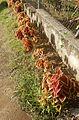 Coleus Thriving in Tropical Sun (30423389301).jpg