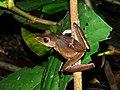 Collett's Tree Frog (Polypedates colletti) (8444897660).jpg
