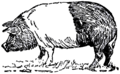 Collier's 1921 Hog Hampshire Hog.png