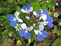 Collinsia verna (blue-eyed mary) (Rock Cut, Muskingum Co OH.jpg
