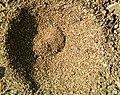 Common Antlion Myrmeleon immaculatus trap-hole.jpg