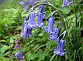 Common Bluebell.jpg