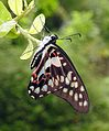 Common Jay Graphium doson by Dr. Raju Kasambe DSCN4186 (7).jpg
