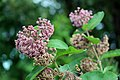 Common Milkweed (35999346051).jpg