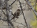 Common Rosefinch (Carpodacus erythrinus) (15272776354).jpg