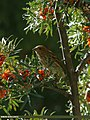 Common Rosefinch (Carpodacus erythrinus) (23932125125).jpg