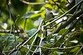 Common Tailorbird Orthotomus sutorius, Bangladesh (7472713660).jpg