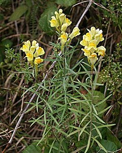 240px common toadflax   linaria vulgaris   geograph.org.uk   215978