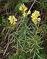 Common Toadflax - Linaria vulgaris - geograph.org.uk - 215978.jpg