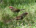 Common Waxbills. Estrilda astrild - Flickr - gailhampshire.jpg