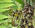 Common Yellowthroat. Geothlypis trichas (38206427342).jpg