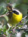 Common Yellowthroat by Dan Pancamo 2.jpg