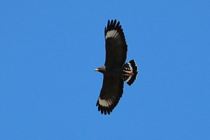 Common black hawk - Image: Common black hawk (Buteogallus anthracinus gundlachii) in flight
